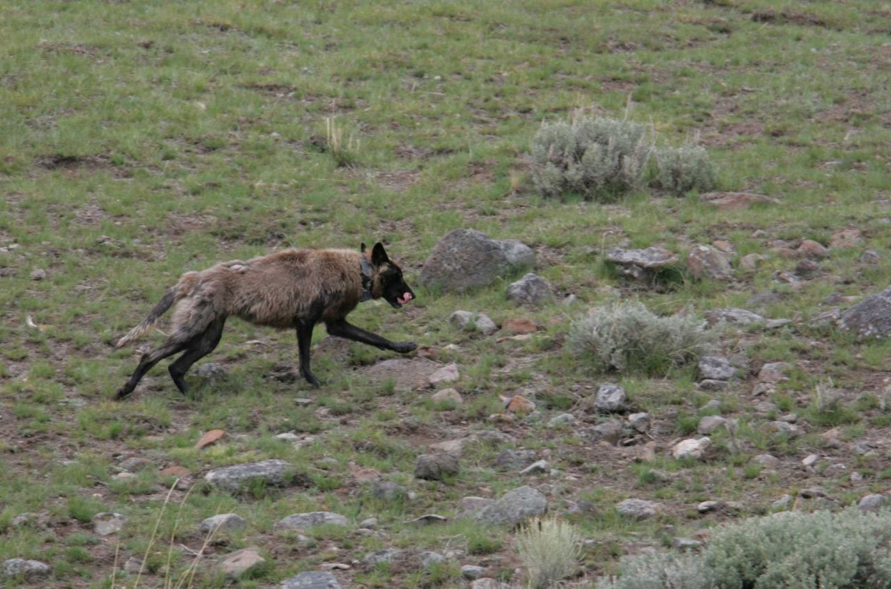 Wolf -470F (Leopold Pack) near Blacktail Pond Photo