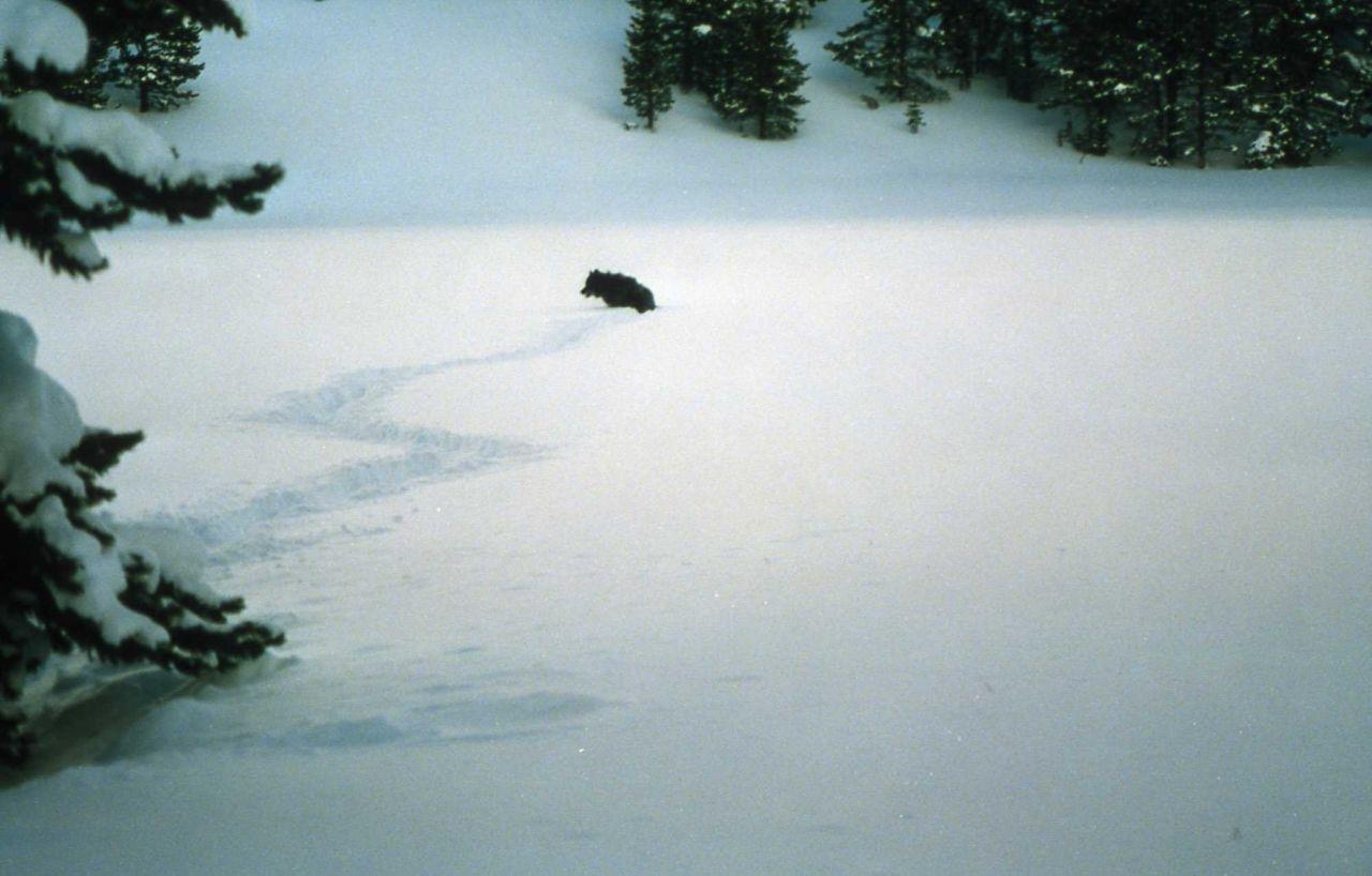 Wolf -3 after release near Fishing Bridge Photo