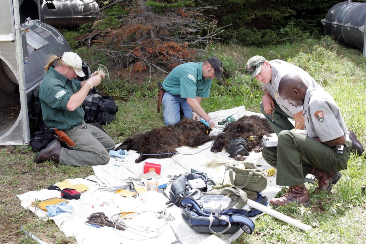 Interagency Grizzly Bear Study Team and Yellowstone National Park staff processing grizzly bear yearlings on Stevenson Island Photo