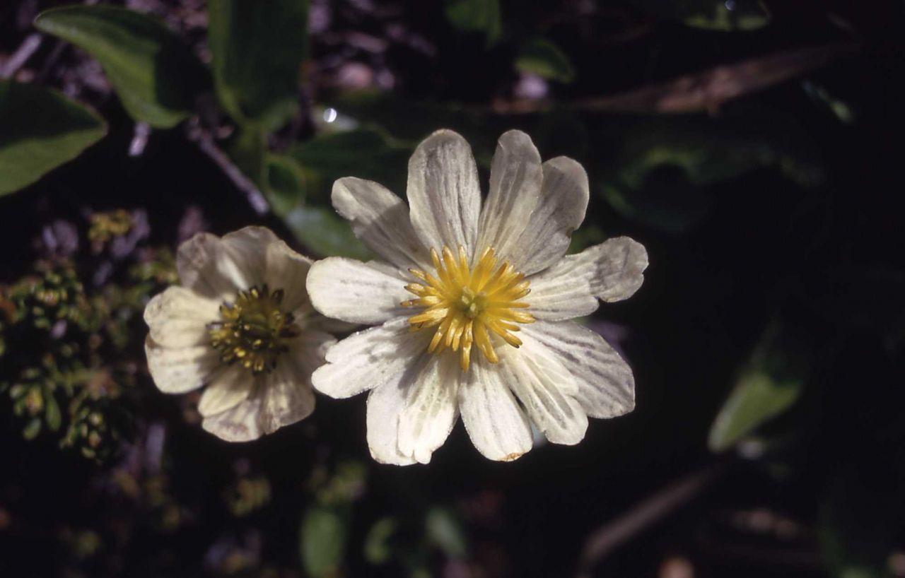 Marshmarigold (Caltha leptosepala) Photo