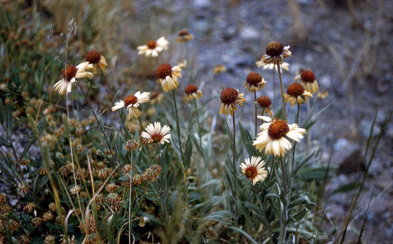 Blanket-flower (Gaillardia aristata) Photo