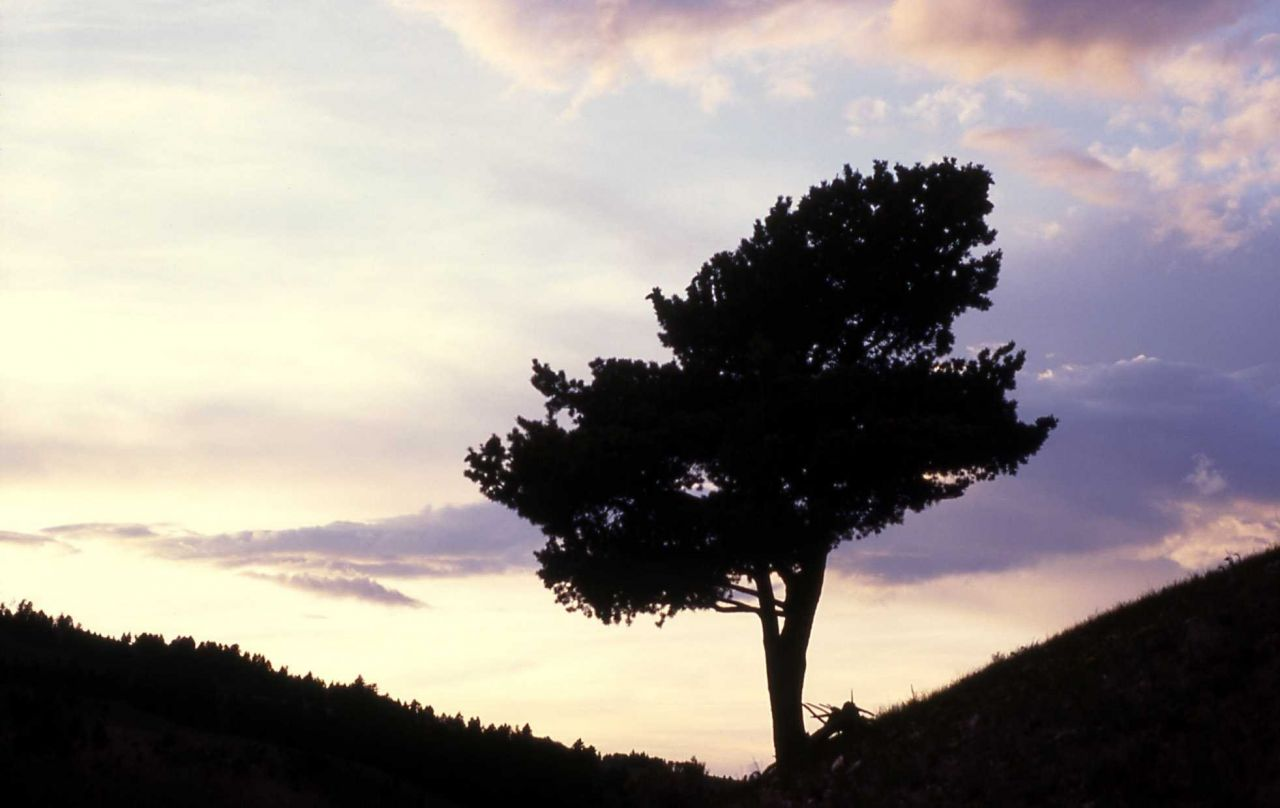 Rocky Mountain juniper (Juniperus scopulorum) & sunset near Mammoth Hot Springs Photo