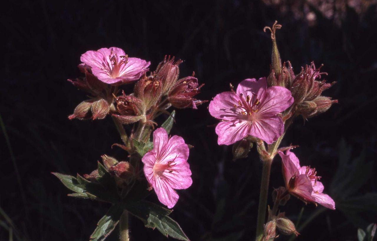 Sticky purple geranium (Geranium viscosissimum) Photo