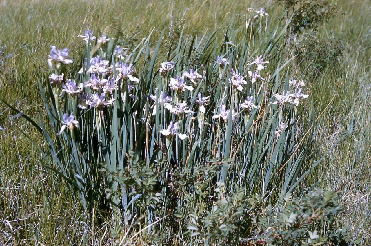 Western blue fleur-de-lis (Iris missouriensis) Photo