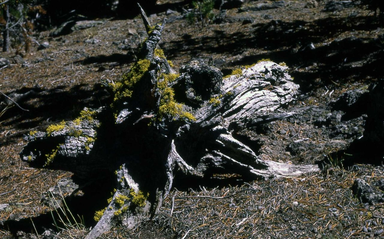 Wolf Lichen Photo