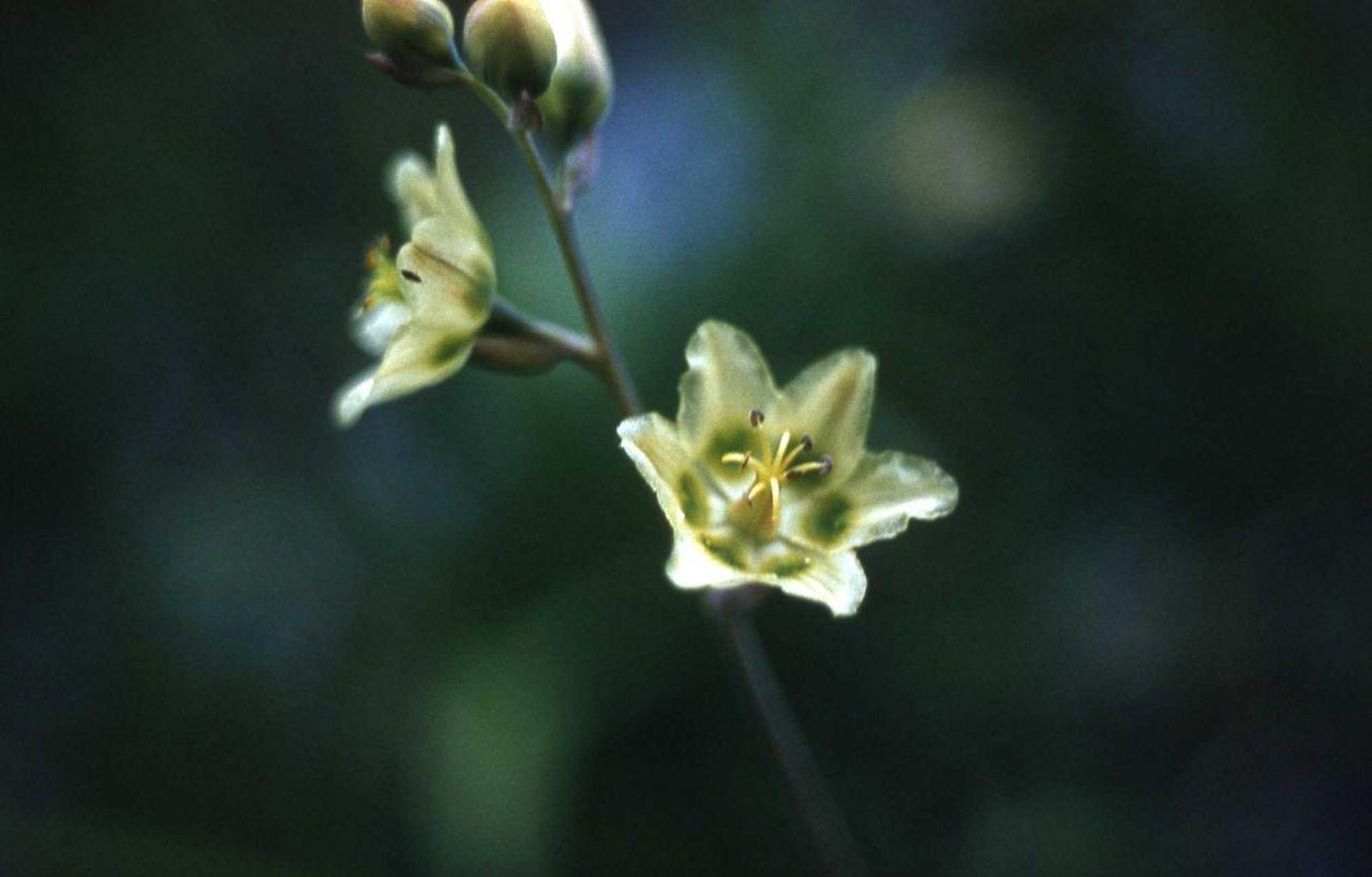Mountain deathcamas (Zigadenus elegans) Photo