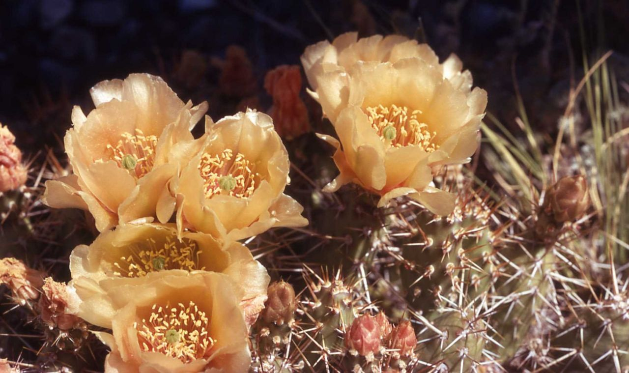 Plains prickly pear (Opuntia polycantha) flower Photo