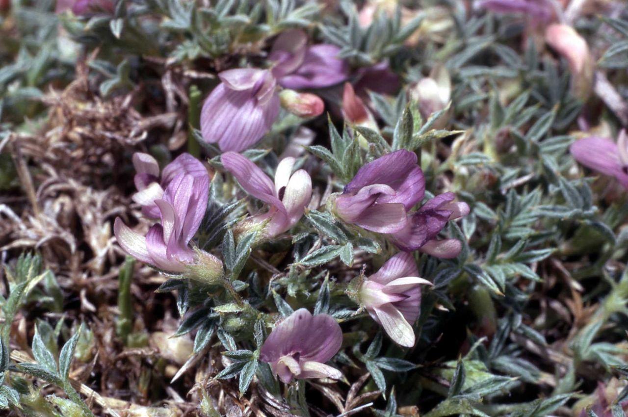 Thistle milk-vetch (Astragalus kentrophyta var. tegetarius) Photo