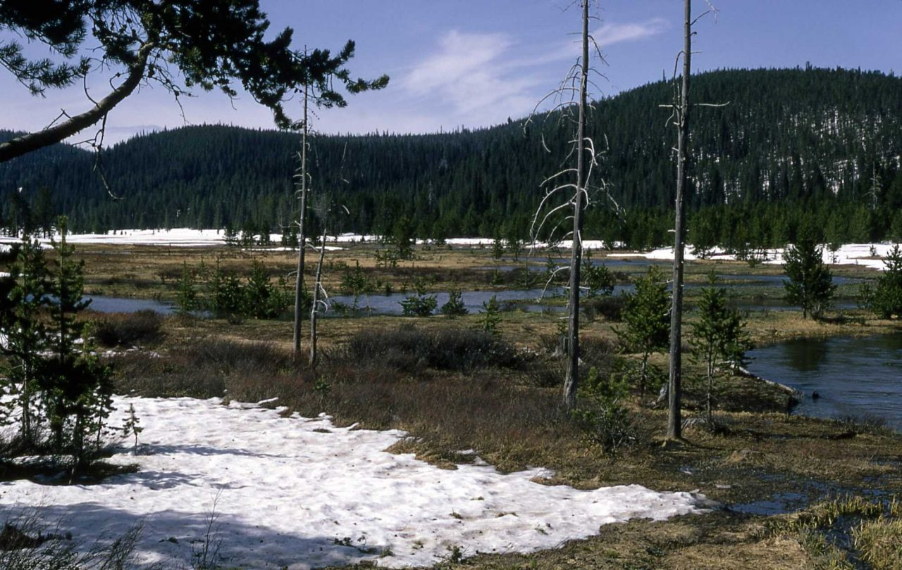 Lodgepole pine encroaching on a meadow Photo