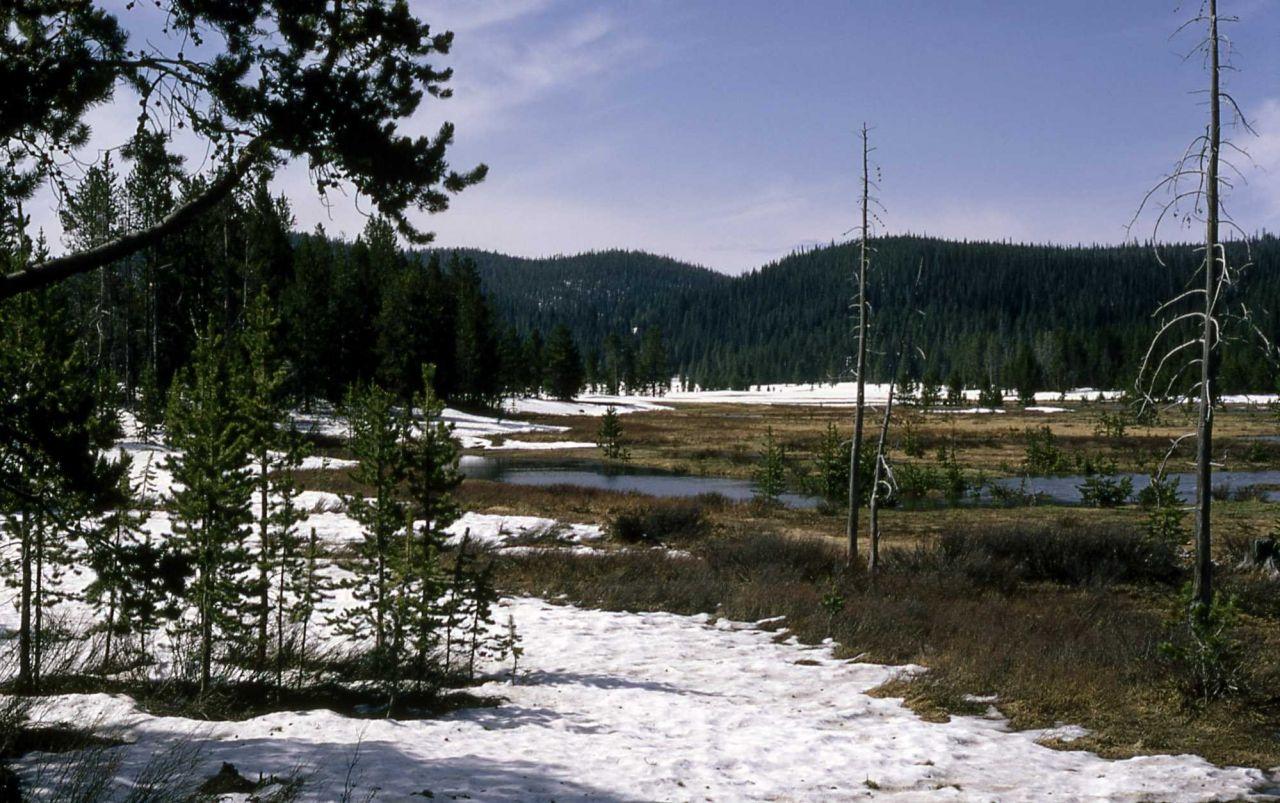 Lodgepole pine encroaching on a meadow Photo