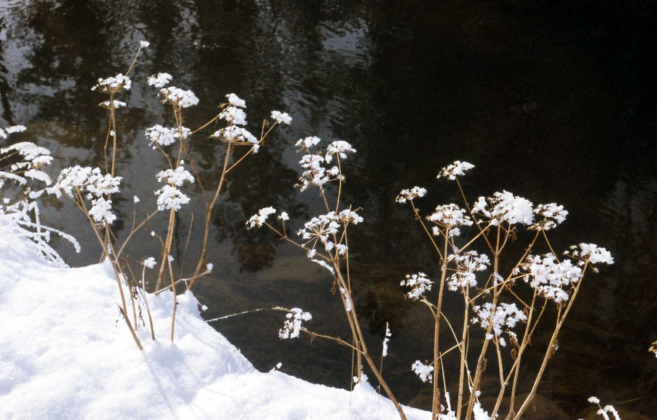 Snow on dried plants Photo
