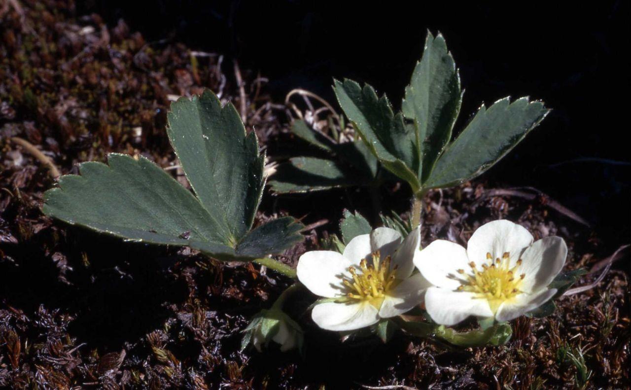 Wild strawberry (Fragaria virginiana) Photo