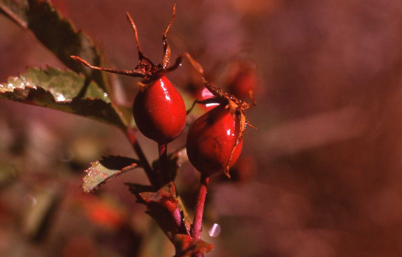 Rose Hips Photo