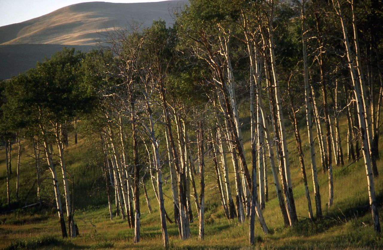 Quaking aspen (Populus tremuloides) grove Photo