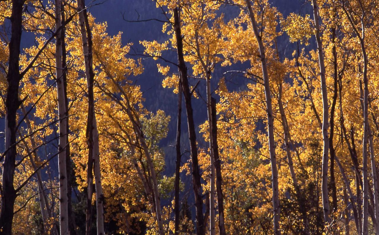 Close up of an aspen grove with fall color Photo