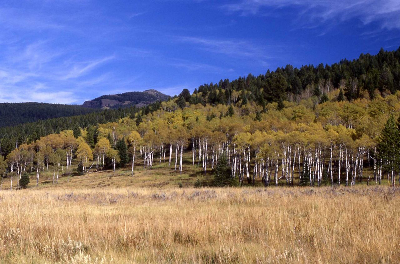 Aspen grove with fall color along Slough Creek trail Photo
