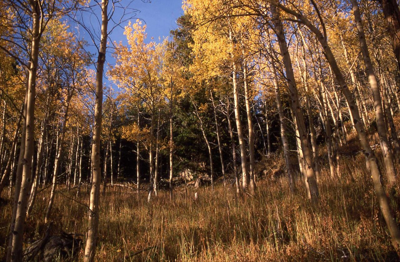 Aspens in the Beartooth Mountains Photo