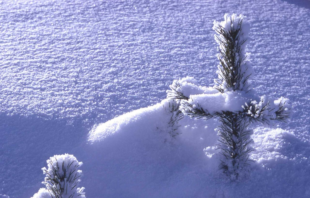 Lodgepole pines in snow in the winter Photo