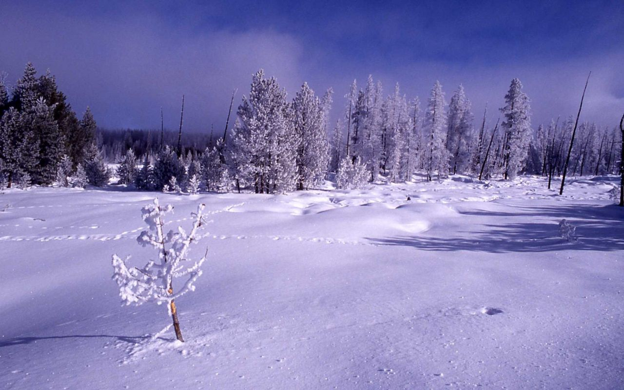 Hoar frost on trees in the winter in Norris Geyser Basin Photo