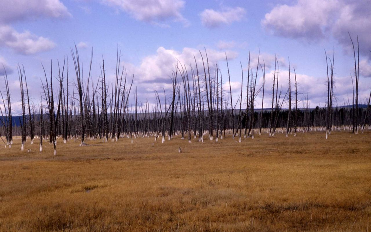 Dead trees in Lower Geyser Basin Photo