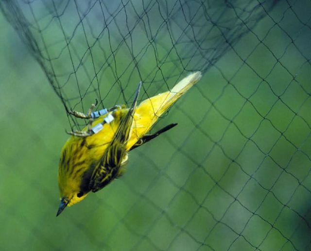 Captured yellow warbler in mist nest Picture
