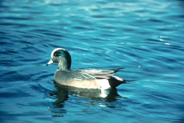 Wigeon Picture