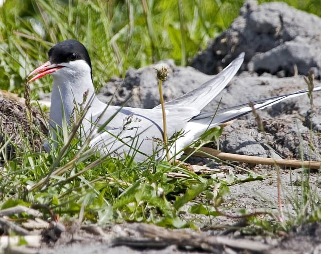 Arctic Tern on Nest Picture