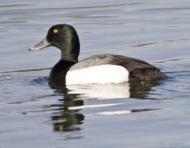 Greater Scaup drake Picture