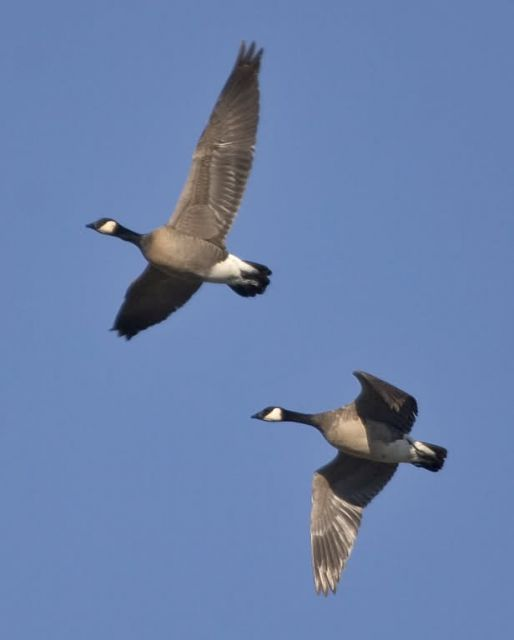 Lesser Canada Geese in Flight Picture