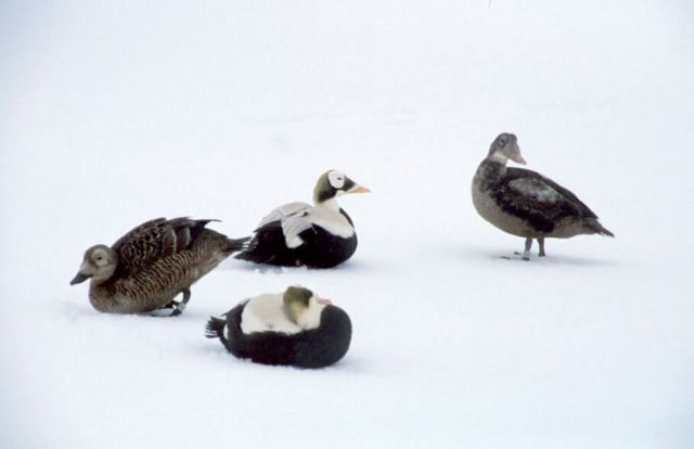 Spectacled Eiders Picture