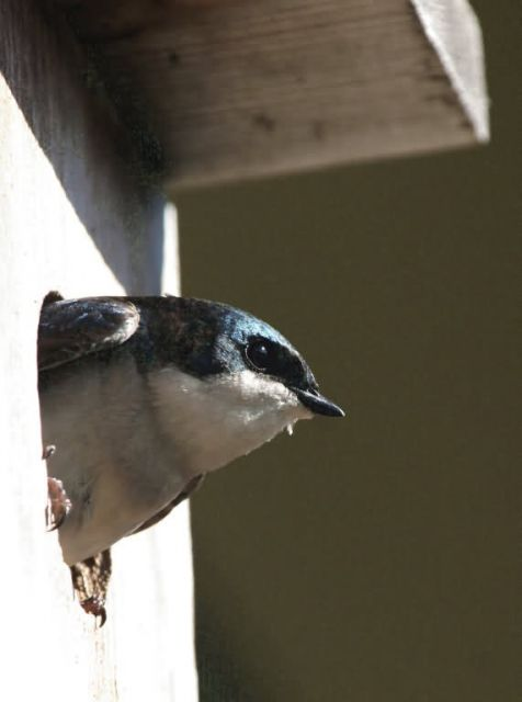 Tree Swallow Profile in Nest Box Picture