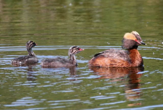 Horned Grebe with Young Picture