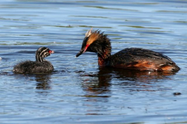 Horned Grebe with Chick Picture