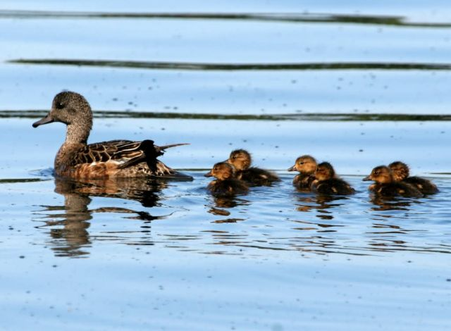 American Wigeon Brood Picture
