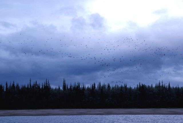 Migrating Birds over River Picture