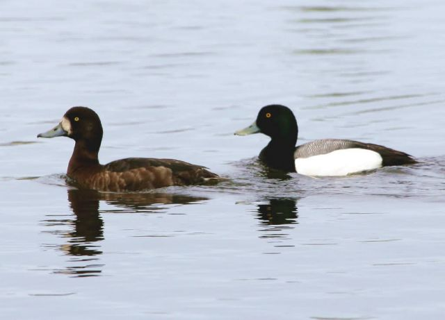 Greater Scaup Pair Picture