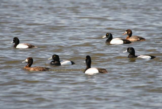 Greater Scaup Group of Males and Females Picture