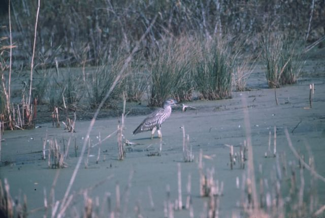 Black-crowned Night Heron Hunting in Marsh Picture