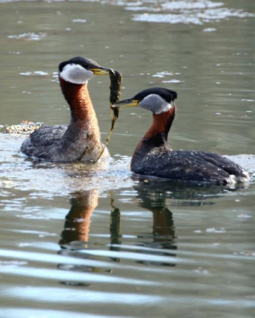 Red-necked Grebe Pair in Courtship Picture