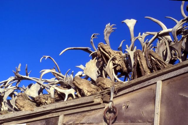 Kotzebue Caribou Antlers on Rooftop Picture