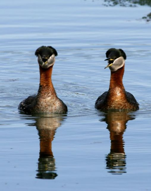 Red-necked Grebe Pair Picture
