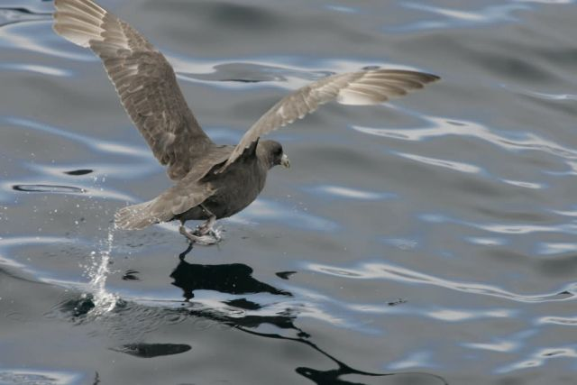 Northern Fulmar, Chagulak Island Picture