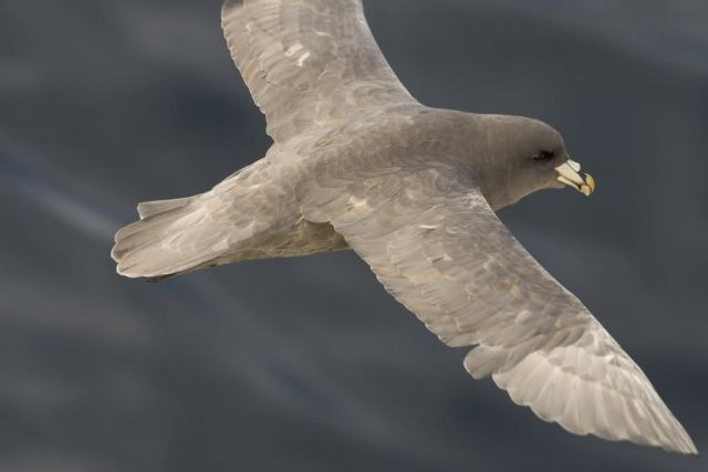 Northern Fulmar, near Chagulak Island Picture