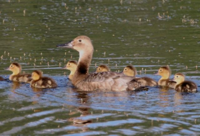 Canvasback Brood Picture