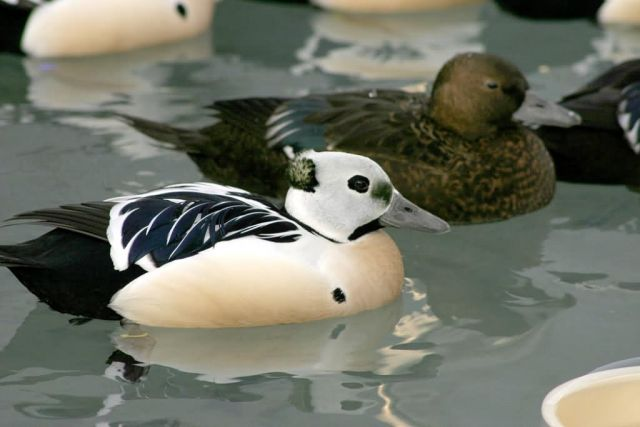 Steller's Eider Male and Females Picture
