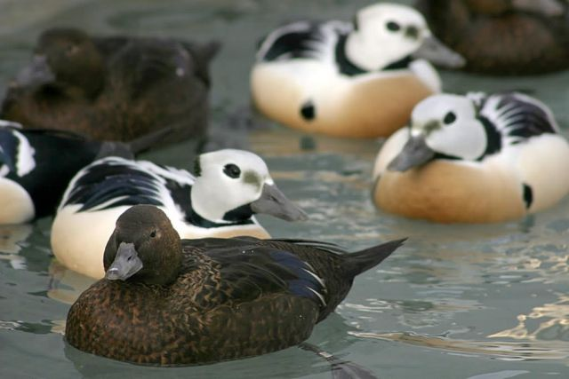 Steller's Eider Males and Females Picture