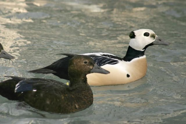 Steller's Eider Male and Female Picture