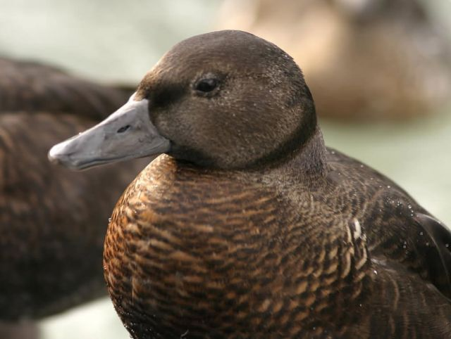 Steller's Eider Female Picture