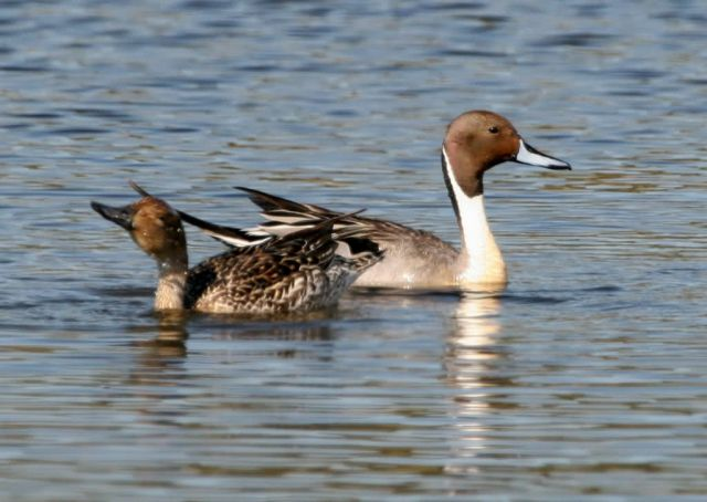 Northern Pintail Pair Picture