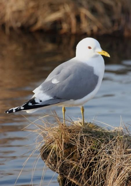 Mew Gull Picture